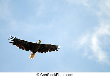 Soaring Bald Eagle - Bald eagle soaring with copy space in...