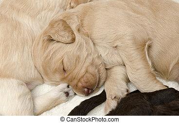 Focus on Carmel Labradoodle Pup - Selective focus the carmel...