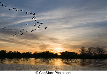 Geese at Sunrise - Canadian Geese coming in for a landing on...