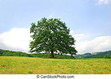 Oak on green hill