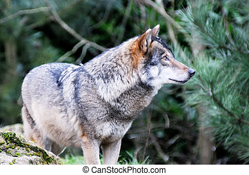 Wild wolf - A single wolf standing in a forest stalking