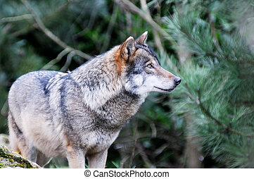 Lone wolf - A single wolf in the wilderness closeup
