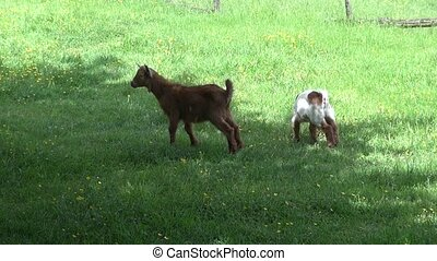 puppy goat - goat at Asturias in Spain Europe