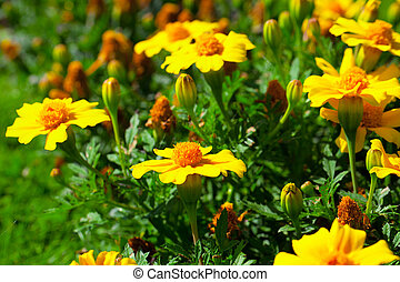marigold flower Tagetes patula L in the flower-bed