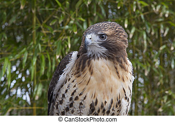 red tail hawk preched in front of bamboo background