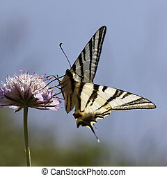 Scarce swallowtail, Iphiclides - Iphiclides podalirius,...