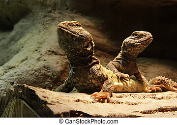 Lizards: Two central bearded dragons - Two agamid lizards -...