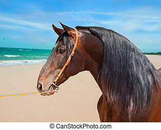portrait of Andalusian bay stallion at ocean background