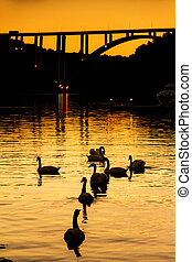 Krka swans - Flock of swans at sunset in the harbor of...