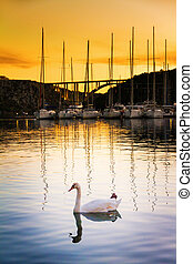 Swan harbor - Single swan at sunset in the harbor of...