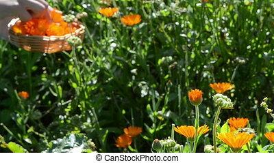 marigold calendula hand - blur hand pick marigold calendula...