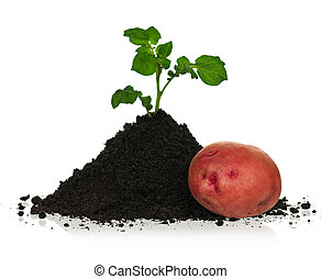 Potato in soil - New red potato with sprout in black soil...