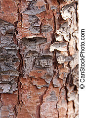 cortex - view of a pine tree bark, with the focus on the...
