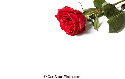 Red rose. - Beautiful red rose. Flower greeting card...