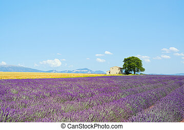 Lavender flowers blooming field, wheat, a house and a lonely...