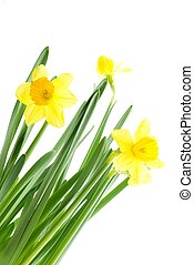 yellow daffodils - a bouquet of yellow daffodils,...