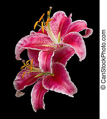 Stargazer lilies - Two upturned Stargazer lily flowers in...