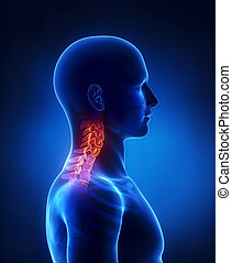 子宮頸管の, 脊柱, 側面, 光景