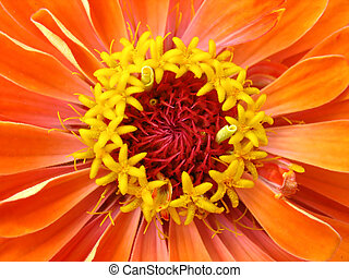 Yellow stamens of orange zinnia. Macro