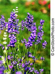Field of flowering Lavarder plants