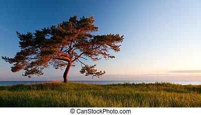 Single wide pine tree on landscape - Single wide pine tree...