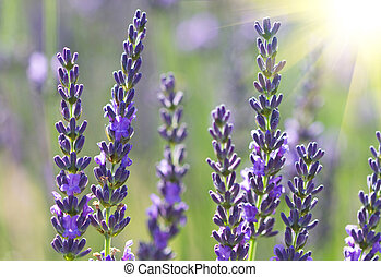 beautiful lavenders flowers in a field