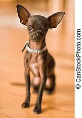 Short Haired Chihuahua, Indoors