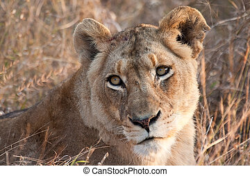 Lioness laying in the grass resting in early morning