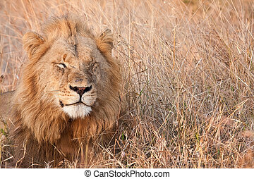 Male lion walk lay in brown gras