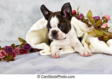 Boston terrier lay with flower string and white towel in...