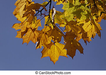 Norway maple in autumn, Germany - Norway maple, Acer...
