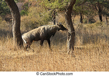 Male of Nilgai - the largest indian antelope - Animal:...