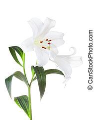 blanco, lirios, flores