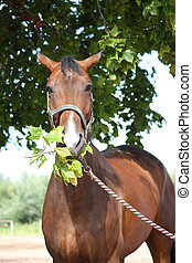 Bay latvian breed horse eating tree leaves - Bay latvian...