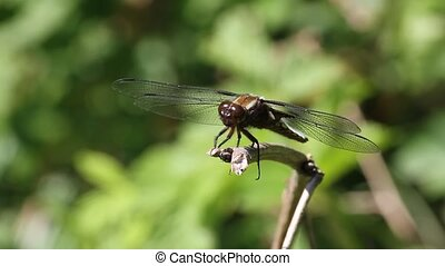 Broad-bodied Chaser (Libellula depressa) - Male on a branch,...