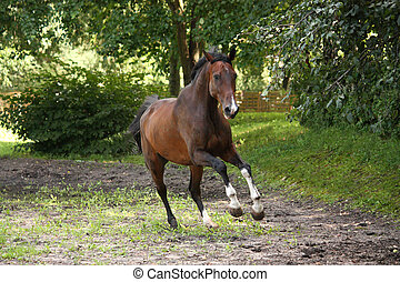 Bay horse galloping free in the meadow in summer