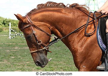 Chestnut horse portrait with bridle in the rural area