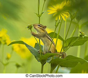 Little nature lover - chipmonk sniffing decorative sunflow