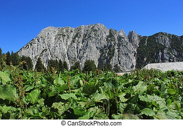 alpine landscape and monks rhubarb rumex alpinus plants -...