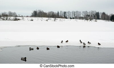frozen lake ducks water