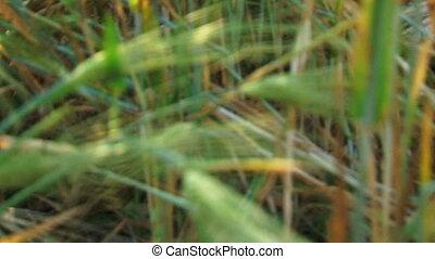 Among ears of wheat