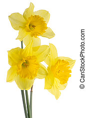 Jonquil flowers - Yellow jonquil flowers isolated on white...