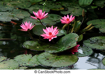 Pink lotus in the water.