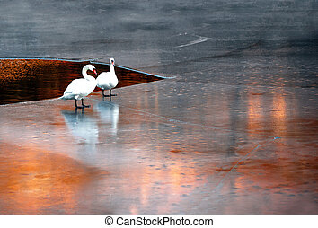 Swans on ice - Two white swans on ice at sunset in early...