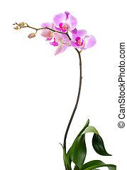 orquídea, blanco, Plano de fondo