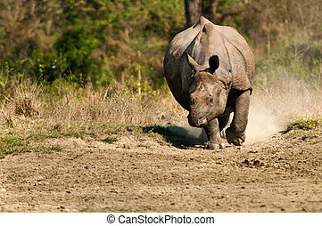Rhino charging - A rhinoceros charging in the direction of...