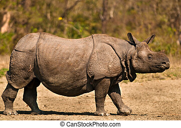 One horned Rhinoceros