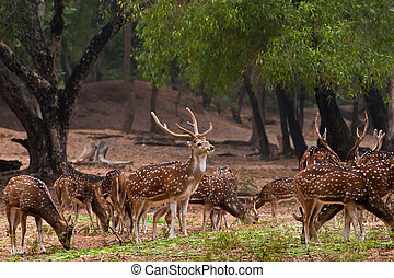 Herd of spotted deer - A herd of spotted deerChital foraging...