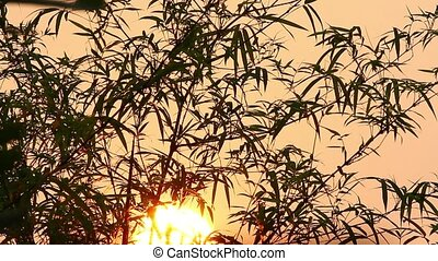 Sunrise and Bamboo 1