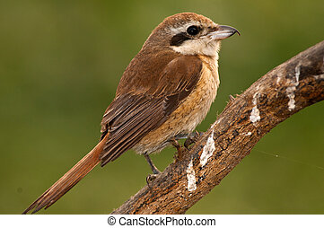 Shrike closeup - Close up of a female Brown Shrike in winter...